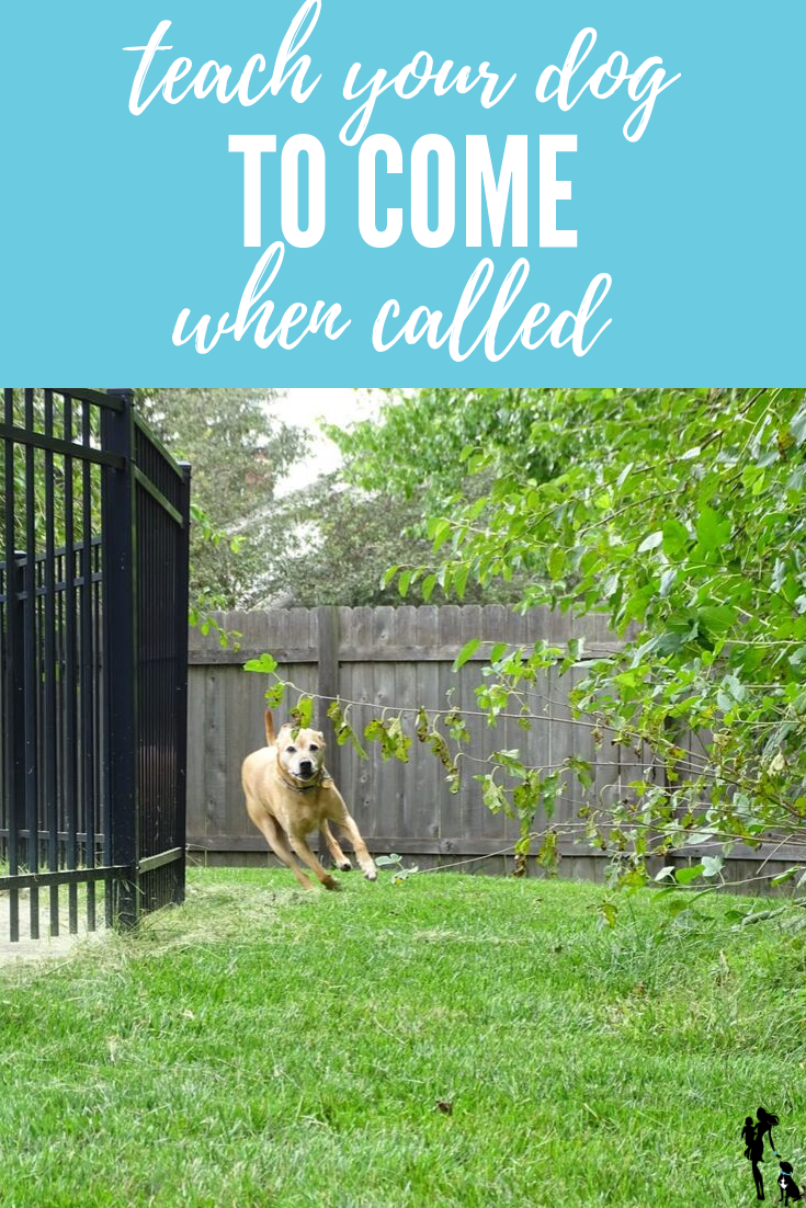 Teach Your Dog to Come When Called: It's so important for your dog's safety to know how to come reliably. Here are some easy steps to take to teach your dog, plus some troubleshooting ideas in case your dog struggles with recall.